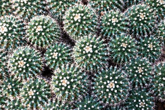 Mammillaria petersonii 库存图片