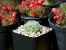 Mammillaria plumosa, Cactus on pot, Succulent, Cacti, Cactaceae, Tree, Drought tolerant plant. Mammillaria plumosa, Cactus on pot, Succulent, Cacti, Cactaceae royalty free stock photography