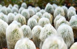 Mammillaria plumosa Royalty Free Stock Images