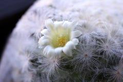 Mammillaria Plumosa flower Cactus breed Selective focus stock photos