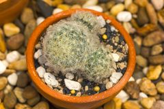 Mammillaria plumosa in nature from a white sphere. royalty free stock image