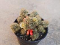 Mammillaria prolifera食用白花和种子荚 在黑塑料罐的仙人掌 天旱宽容植物 库存图片