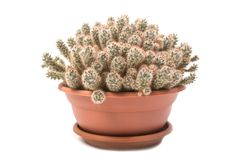 Mammillaria prolifera royalty free stock photo