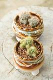 Mammillaria prolifera in flower pot Royalty Free Stock Photo