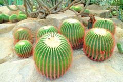 Mammillaria rekoi cactus Stock Photography