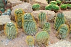 Mammillaria rekoi Kaktus Lizenzfreies Stockfoto