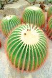 Mammillaria rekoi Kaktus Lizenzfreie Stockfotos
