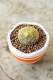 Mammillaria schiedeana in flower pot Stock Images