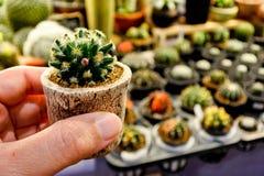 Mammillaria Shiedeana, mooie cactus Royalty-vrije Stock Fotografie