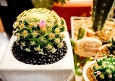Mammillaria Shiedeana, mooie cactus Royalty-vrije Stock Afbeeldingen