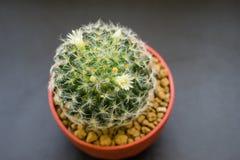 Mammillaria shiedeana Stock Image