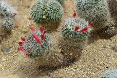 Mammillaria sp., cactus grows in sand Royalty Free Stock Image