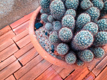 Mammillaria sp. Royalty Free Stock Image