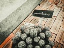 Mammillaria sp. Royalty Free Stock Photo