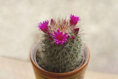 Mammillaria spinosissima cactus. With pink flowers blooming Stock Photo
