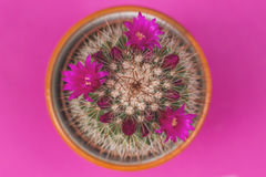 Mammillaria spinosissima cactus. With pink flowers blooming and fuchsia background Stock Images