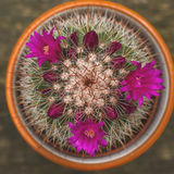 Mammillaria spinosissima flowering. Mammillaria spinosissima cactus with pink flowers blooming Royalty Free Stock Photo