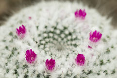 Mammillaria succulent plant Stock Photo
