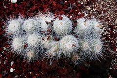 Mammillaria van de cactus stock afbeelding