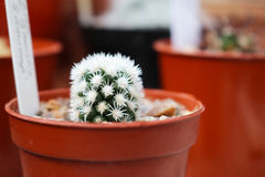 Mammillaria vetula or arizona snowcap. Mammillaria vetula cactus or arizona snowcap stock images