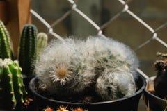 Mammillariabocasana var multilanataen har vit- och rosa färgblommor Kaktus på den plast- krukan Tolerant växt för torka arkivfoto