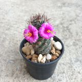 Mammillariamazatlanensisen har två 2 rosa blommor Kaktus på den plast- krukan Tolerant växt för torka arkivfoto