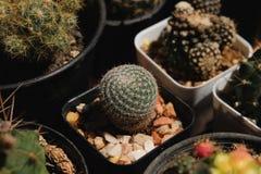 Mammillariamicrothele Kaktus på den plast- krukan Tolerant växt för torka royaltyfria foton