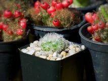 Mammillariaplumosa, kaktus på krukan, suckulent, kakturs, Cactaceae, träd, tolerant växt för torka royaltyfri fotografi