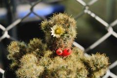 Mammillariaproliferaen har den vita blomman Kaktus på den plast- krukan Tolerant växt för torka royaltyfri fotografi