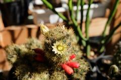 Mammillariaproliferaen har den vita blomman och kärnar ur fröskidan Kaktus på den plast- krukan Tolerant växt för torka royaltyfria foton
