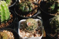 Mammillariaschiedeanaen har rosa färgblomman och kärnar ur fröskidan Kaktus på den plast- krukan Tolerant växt för torka royaltyfri foto