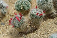 Mammillariasp., kaktuns växer i sand Royaltyfri Bild