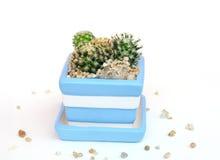 Mammillria schiedeana and mammillaria huitzilopochtli cactus on flower pot Royalty Free Stock Image