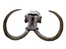 Mammoet schedel Royalty-vrije Stock Afbeelding