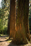 Mammoetboom Stock Afbeeldingen
