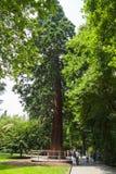 Mammon树 树丛,背景 免版税库存照片