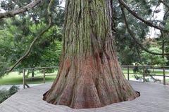 Mammon tree. Old german mammon tree at german insel mainau Stock Photo