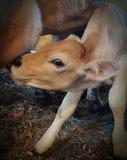 Mammor mjölkar Arkivfoto