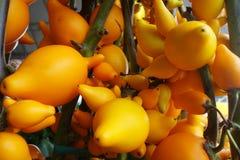 Mammosum de solanum s'élevant dans le jardin Photographie stock