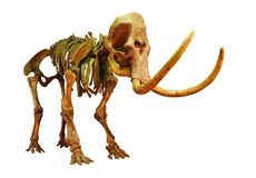 Mammoth. Skeleton of Mammoth on a white background Stock Photos