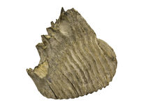 Mammoth elephant tooth Stock Photos