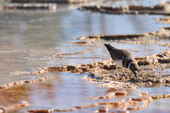 Mammoth Hot Springs. A bird at Yellowstone's Mammoth Hot Springs Royalty Free Stock Image