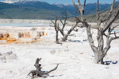Mammoth Hot Springs vaggar vitt svavel- fältet i Yellowstone Royaltyfri Fotografi