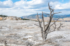 Mammoth Hot Springs in Yellowstone National Park. A lonely dead tree in Mammoth Hot Springs in Yellowstone National Park, Wyoming, USA Stock Photos