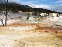 Mammoth Hot Springs, Yellowstone National Park. Hot springs overtake tress in Yellowstone Park Stock Image