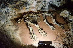Mammoth skeleton in a cave Emine Bair Khosar. Crimea. Skeleton found in a cave mammoth.  Karst cave Emine Bair Khosar in Crimea. Massif Chatyrdag-Yayla Stock Images