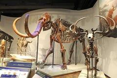 Mammoth Skeleton Royalty Free Stock Photography
