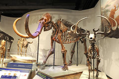 Mammoth Skeleton Royalty Free Stock Photography