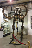 A Mammoth Skeleton at GeoDecor Fossils & Minerals Royalty Free Stock Images