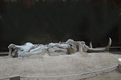 Mammoth Skeleton, Serbia, Viminacium Stock Photography